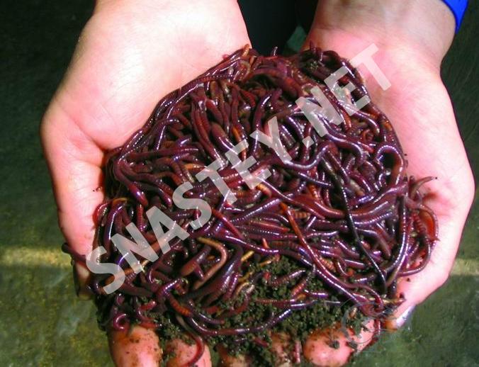 подготовка червей опарышей к весенней рыбалке